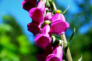 Foxgloves2