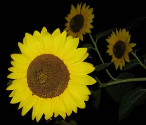 Sunflowers@Night
