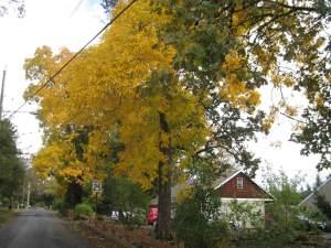 YellowTreeBeauty1