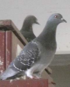 PigeonPortrait