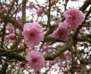 cherryblossums