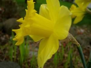 DaffodilBeauty