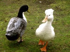 DuckFriends