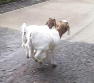 GoatRace