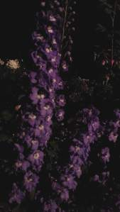 PurpleFlowersInDarkStandingTall