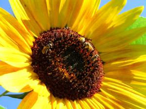BEEutifulSunflower